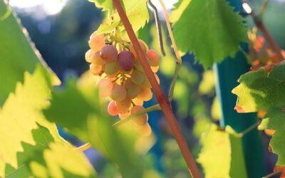 Definiciones de Viticultura 🍇